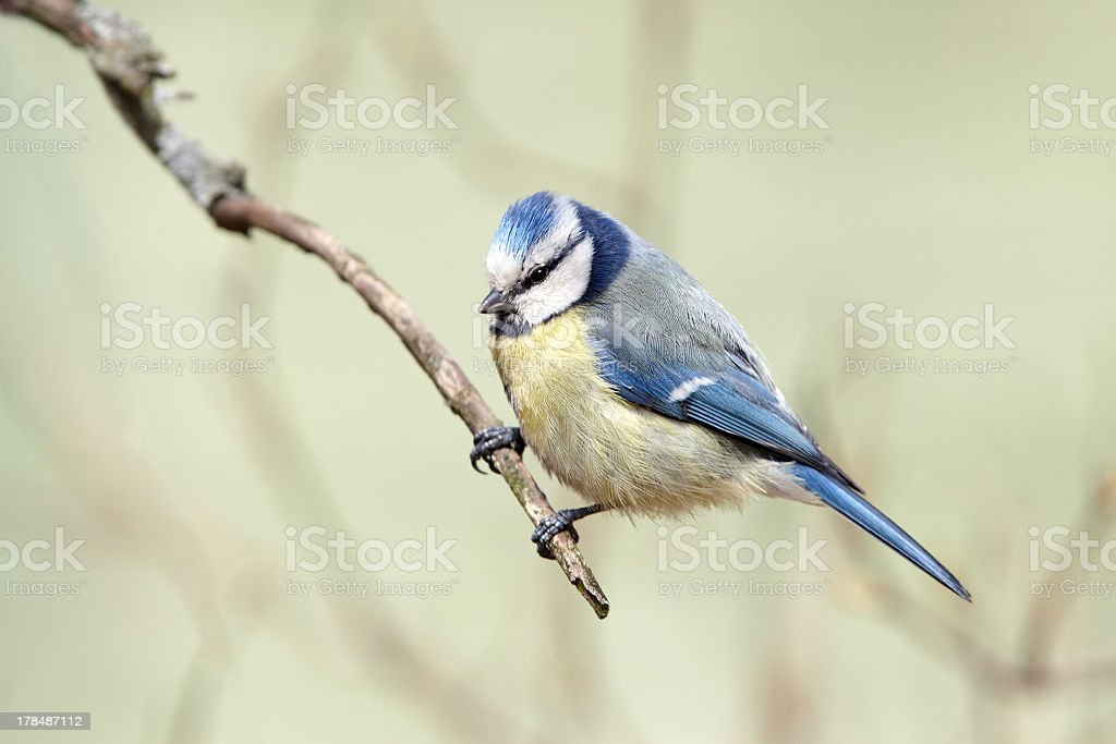 Blue tit on branch royalty-free stock photo