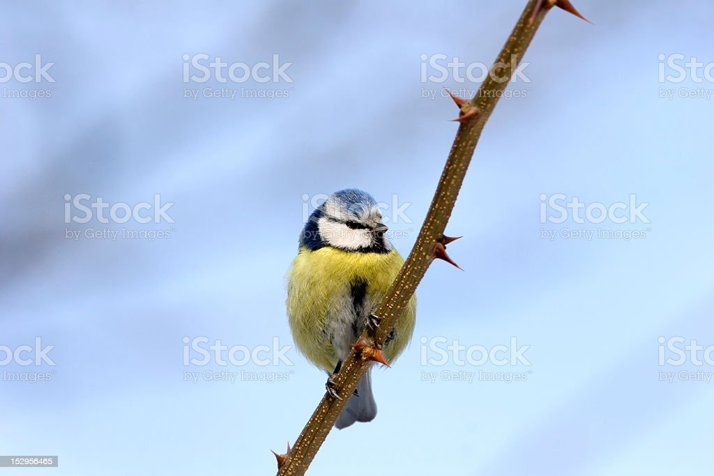 Blue tit on branch posing before camera royalty-free stock photo