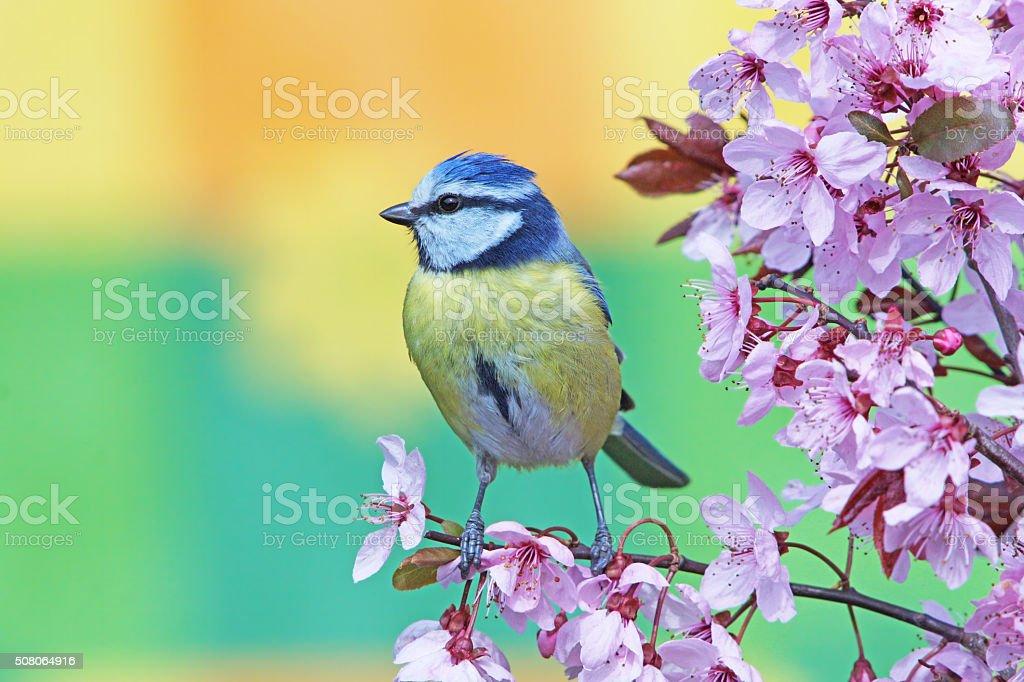 Blue tit on purple-leaf plum stock photo