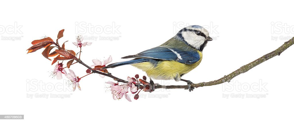 Blue Tit perching on a blossoming branch, Cyanistes caeruleus stock photo