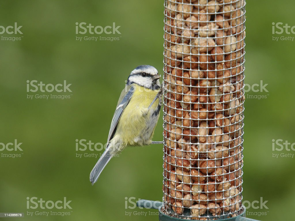 Blue Tit (Parus caeruleus) royalty-free stock photo