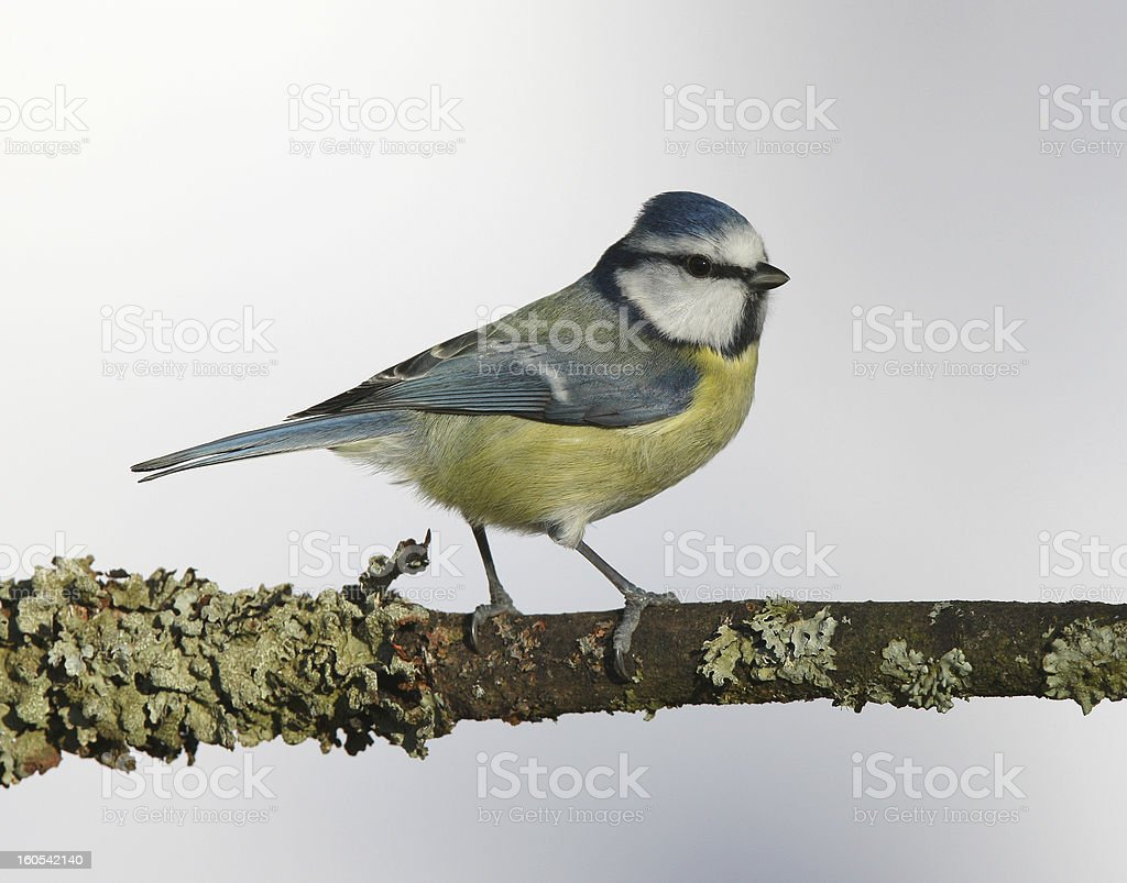 Blue Tit royalty-free stock photo