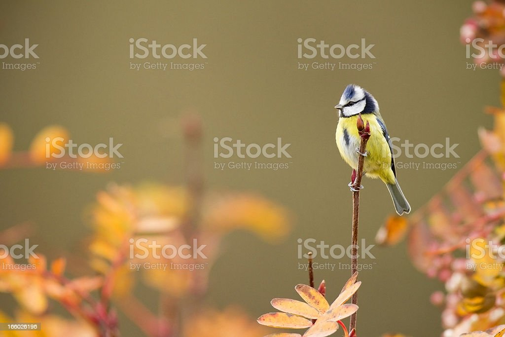 Blue Tit stock photo