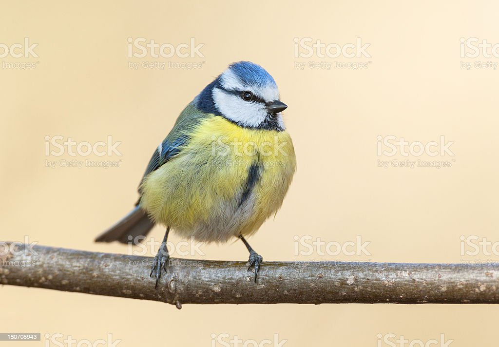 Blue Tit (Cyanistes caeruleus) royalty-free stock photo