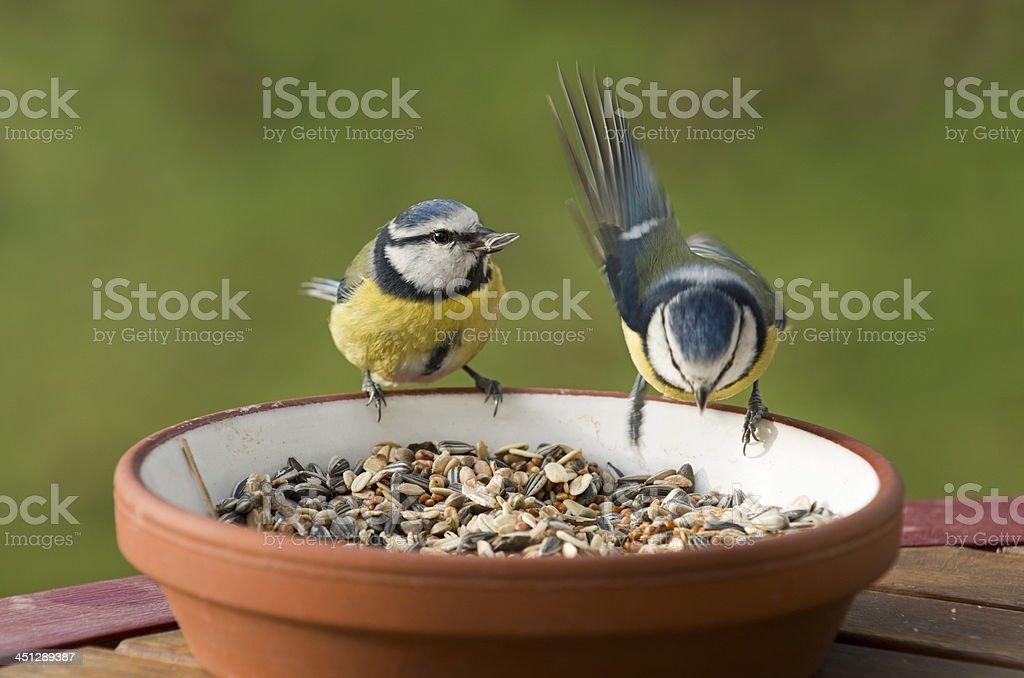 Blue tit ( Parus caeruleus ) stock photo