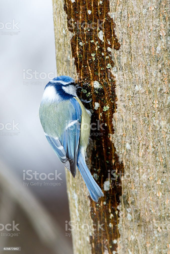 Blue tit (Parus caeruleus) stock photo