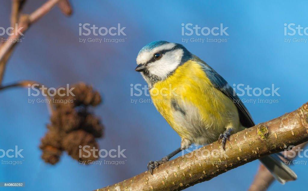 blue tit sitting on a twig stock photo