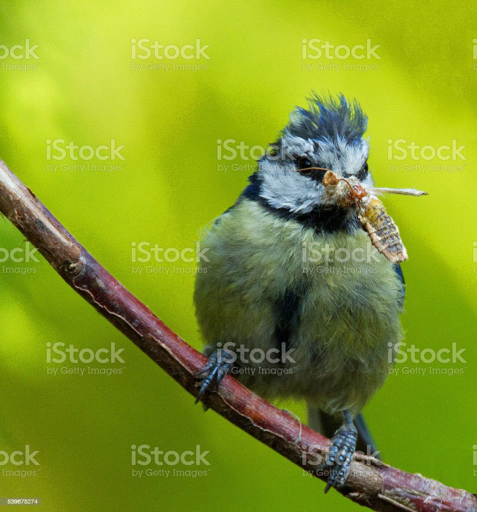 Blue Tit with a Hoverfly. stock photo
