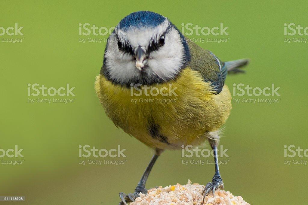 Blue Tit/Angry bird stock photo