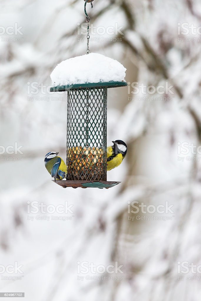 Blue tits and a Great tit at a bird feeding stock photo