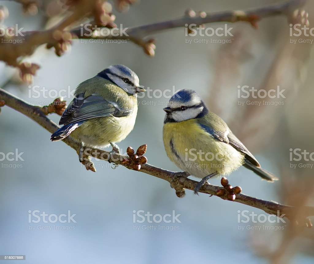 Blue Tits stock photo