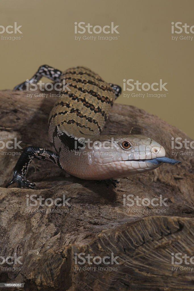 Blue Tongue Lizard stock photo