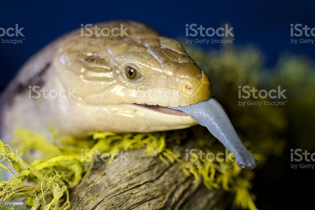 blue tongued shink, Tiliqua scincoides, head and tounge royalty-free stock photo