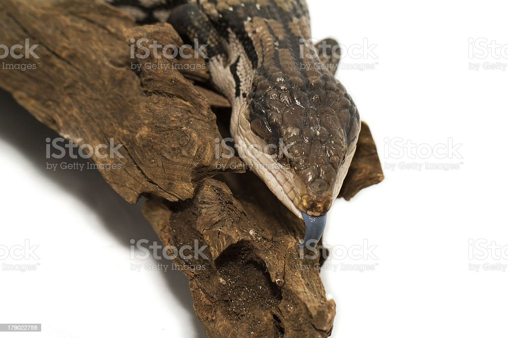 Blue tongued skink on white background (Tiliqua scincoides scinc royalty-free stock photo