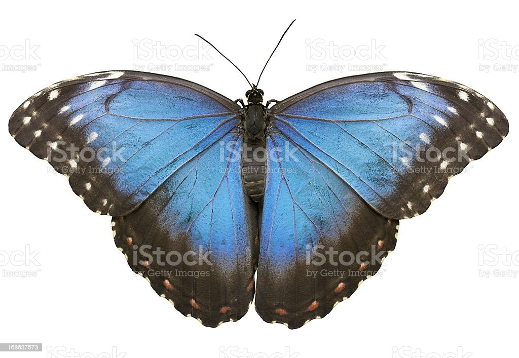 Blue Tropical Butterfly On White stock photo