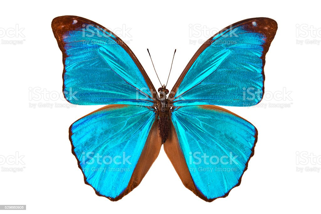 Blue tropical butterfly. stock photo