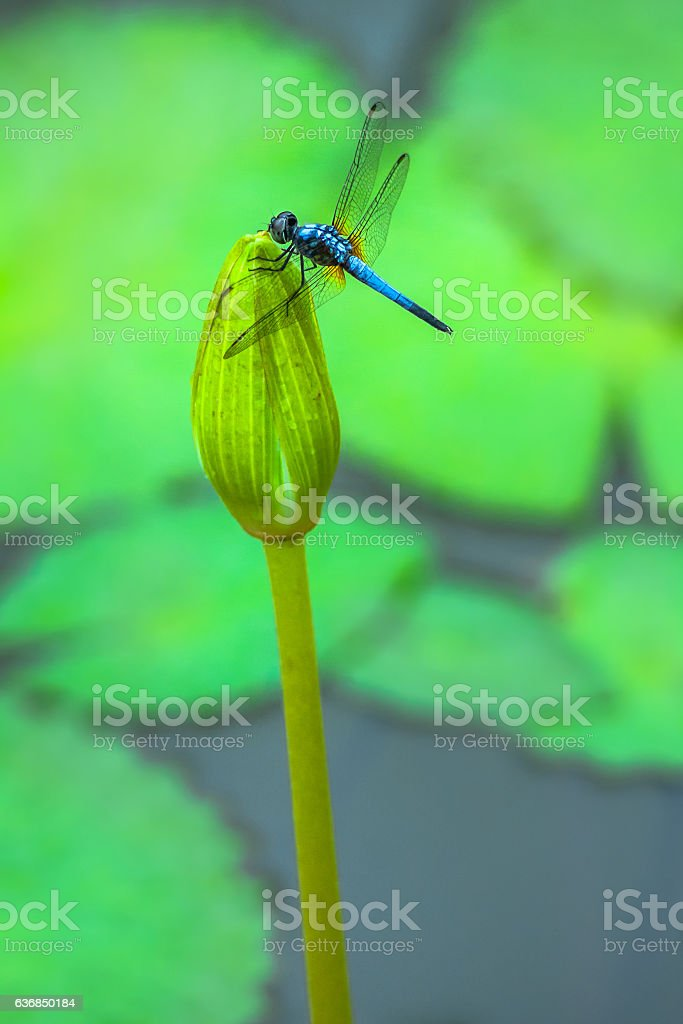 Blue Tropical Dragonfly stock photo