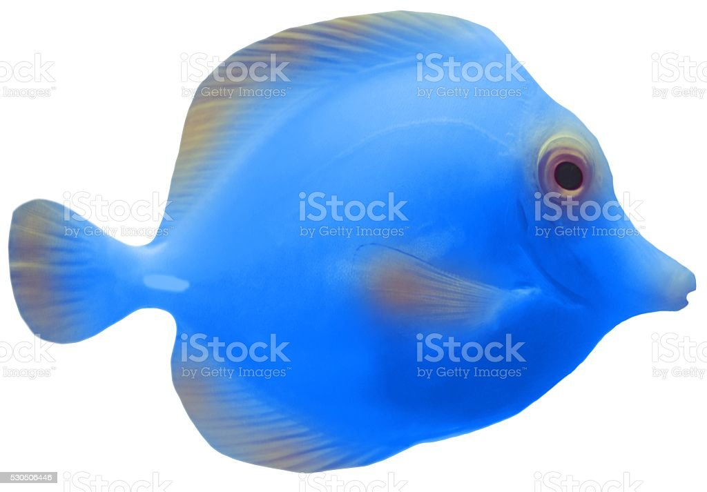 blue tropical tang fish isolated on a white background stock photo