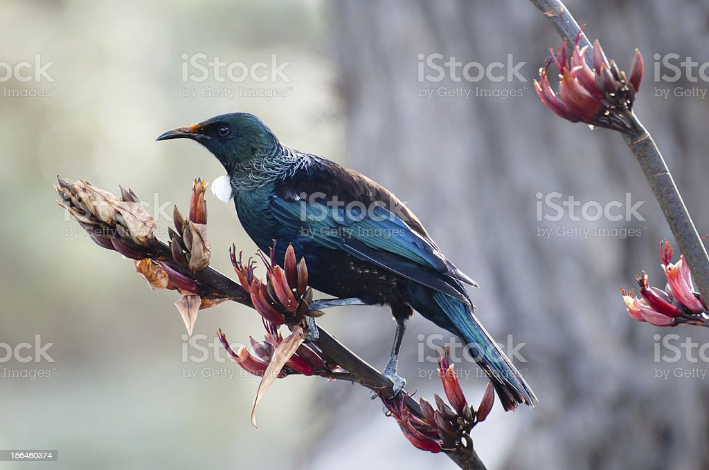 Blue Tui bird on thin beach with budding flowers stock photo