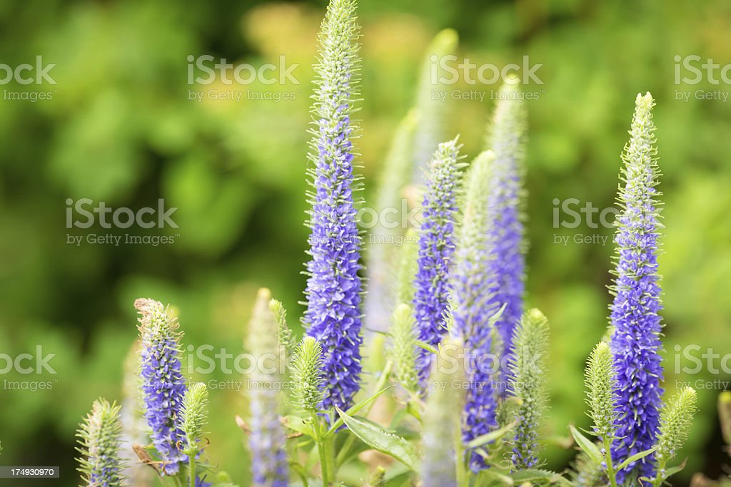 Blue Veronica royalty-free stock photo