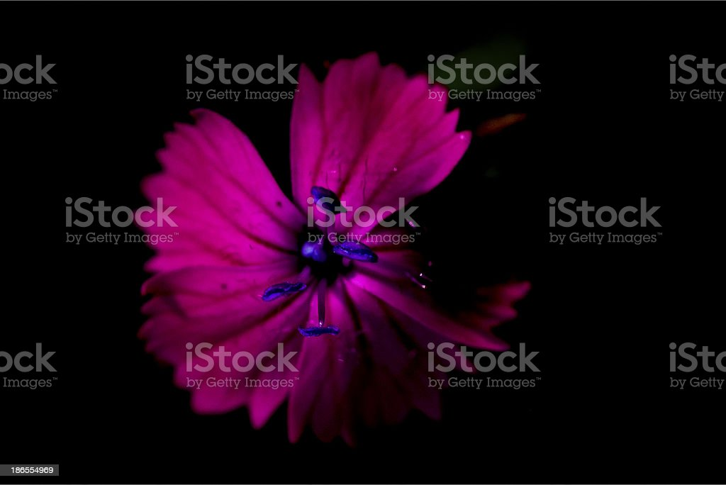 blue violet dianthus royalty-free stock photo