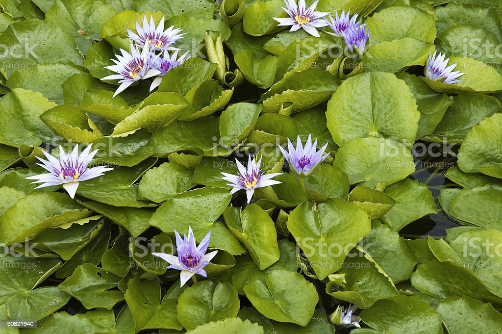 Blue Water Lilies royalty-free stock photo