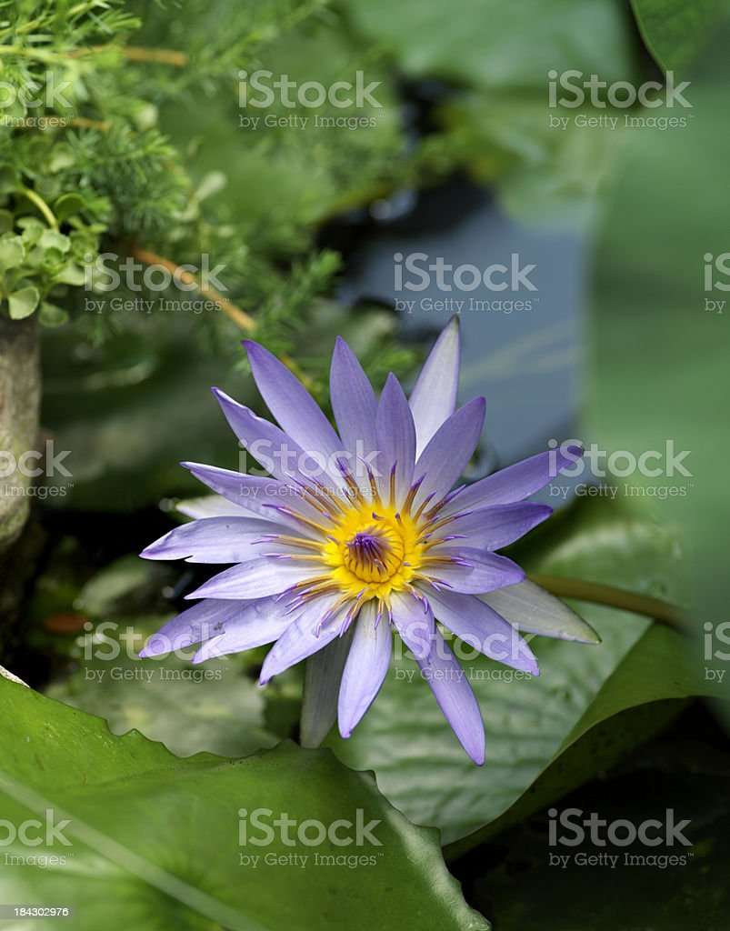 Blue Water Lily royalty-free stock photo