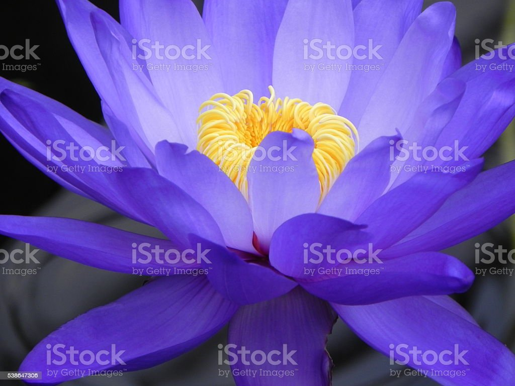 Blue water lily with yellow crown stock photo 538647306 istock blue water lily with yellow crown royalty free stock photo izmirmasajfo