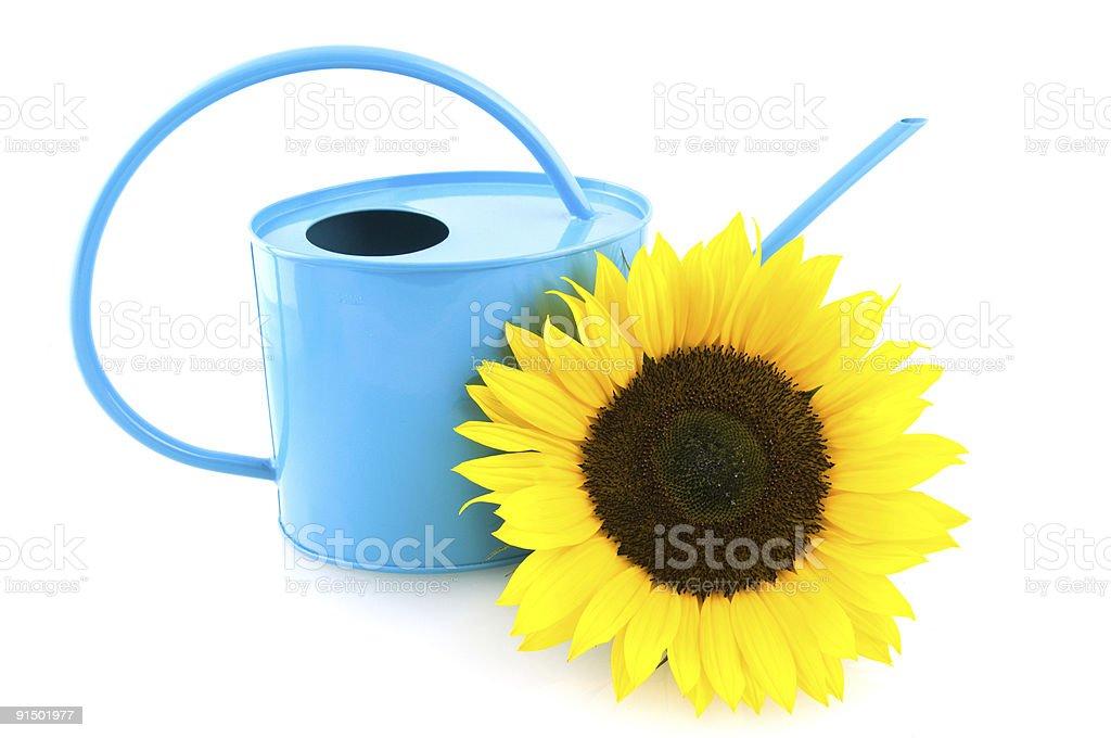Arrosoir bleu avec tournesol photo libre de droits