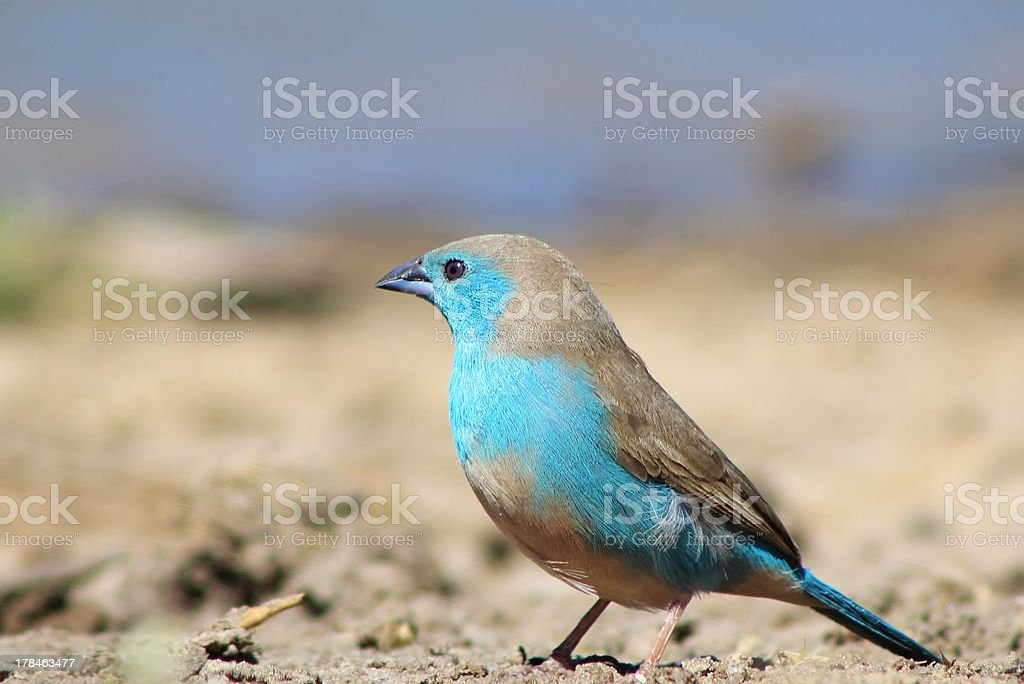 Blue Waxbill, Wild Birds from Africa, Color, Pride and Nature royalty-free stock photo