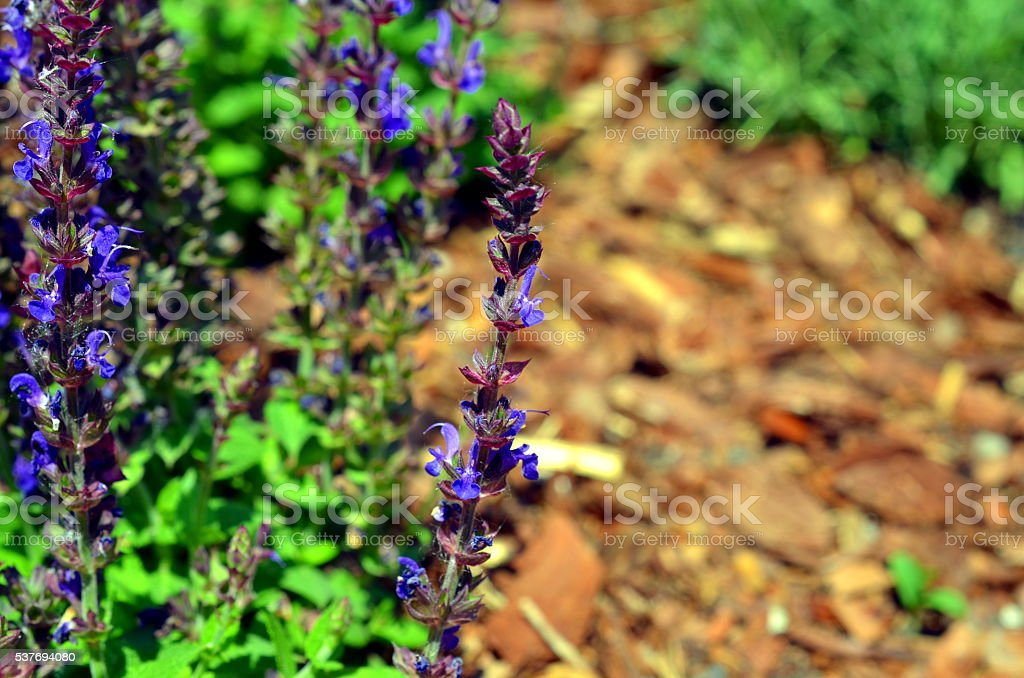 blue weed Ajuga reptans growing in spring and summer stock photo