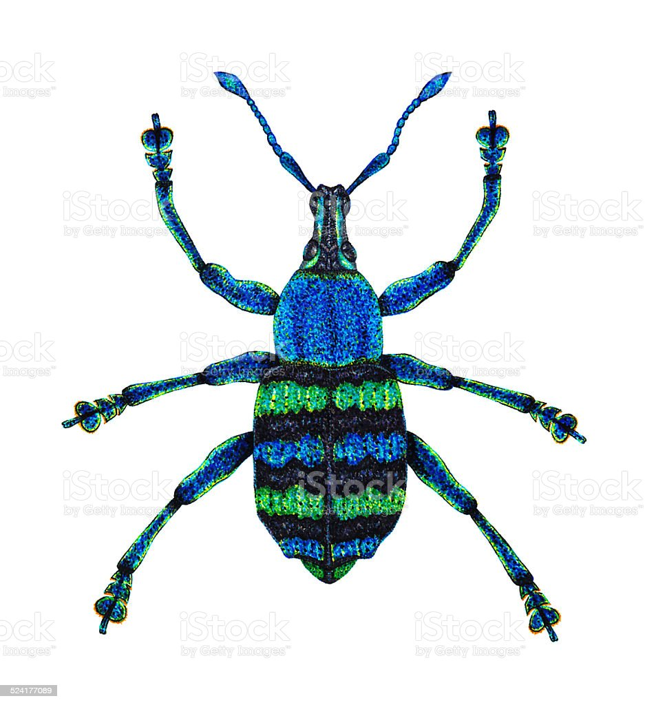Blue Weevil stock photo