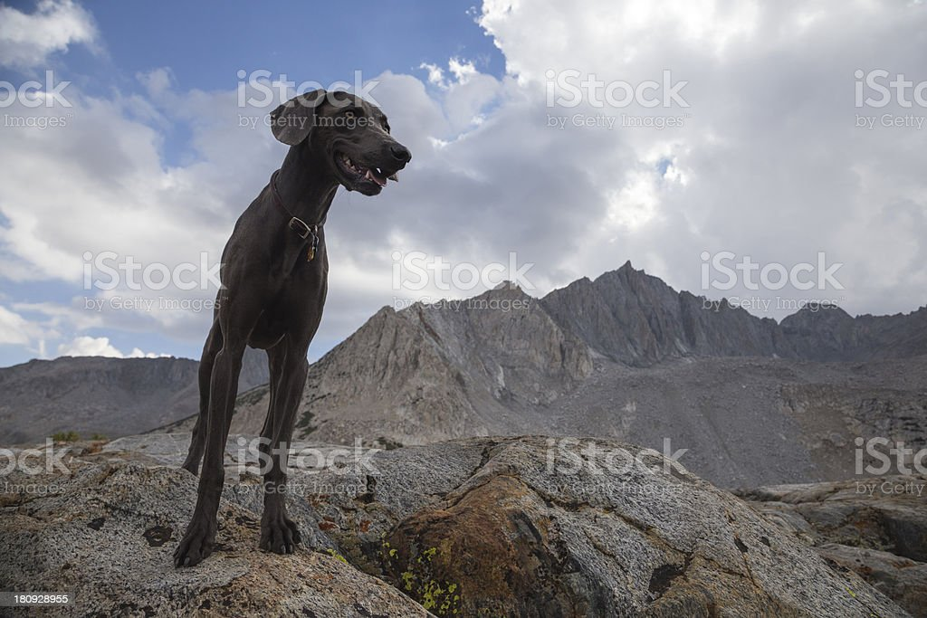Blue Weimaraner in the Outdoors stock photo