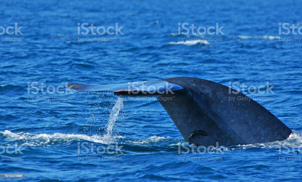 Blue whale tail flukes and remora. stock photo