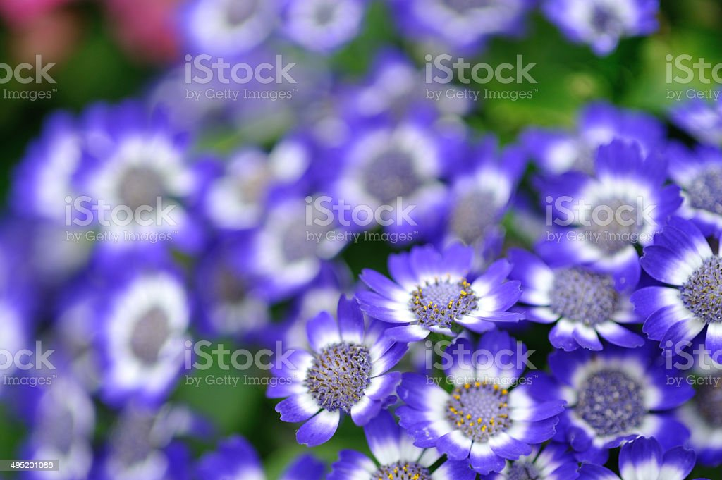 Blue & White garden flowers stock photo