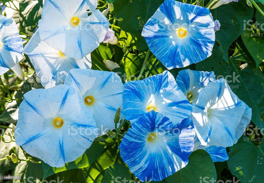 Blue & White Morning Glories stock photo