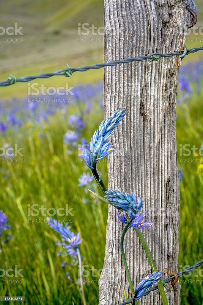 Blue wild flower and barbed wire fence royalty-free stock photo