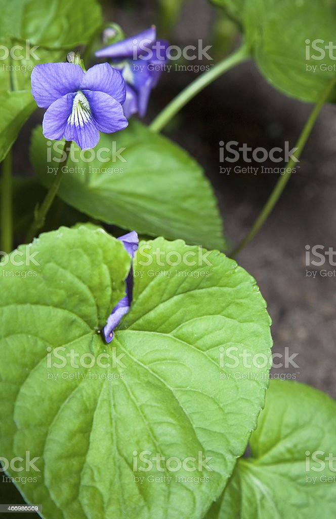 Blue wild flower royalty-free stock photo