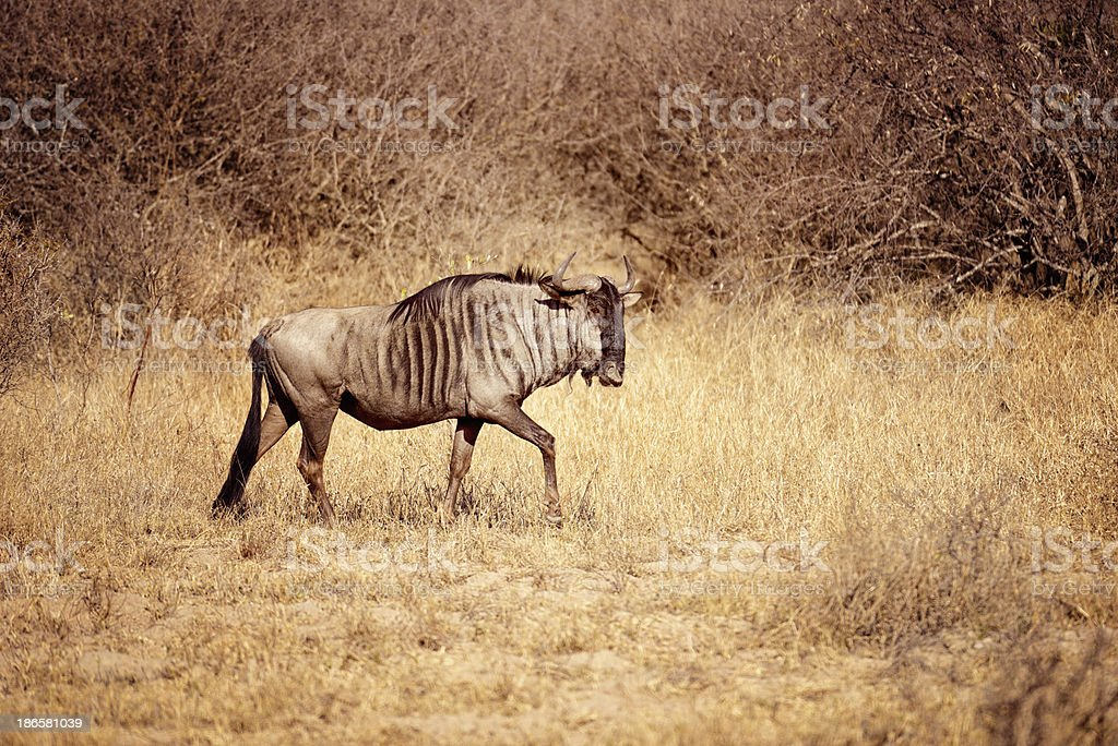 Blue Wildebeast Roaming In Kruger National Park South Africa royalty-free stock photo