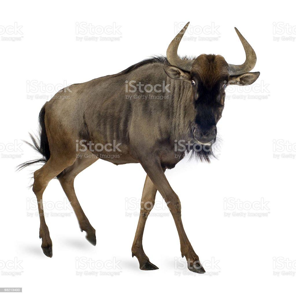 Blue Wildebeest - Connochaetes taurinus stock photo