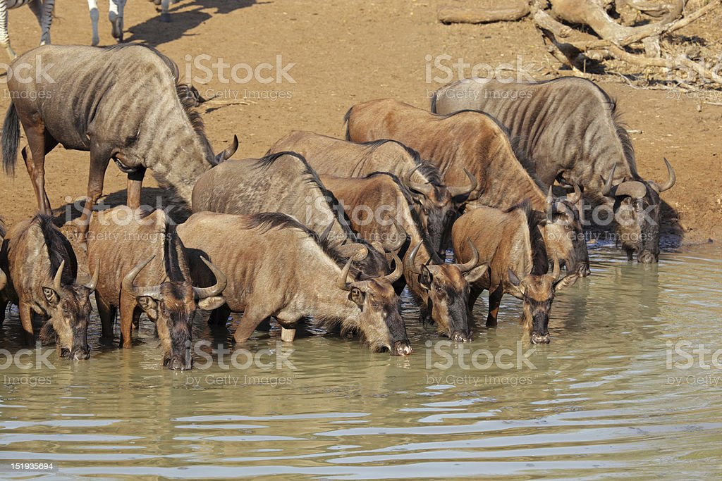 Blue wildebeest drinking royalty-free stock photo