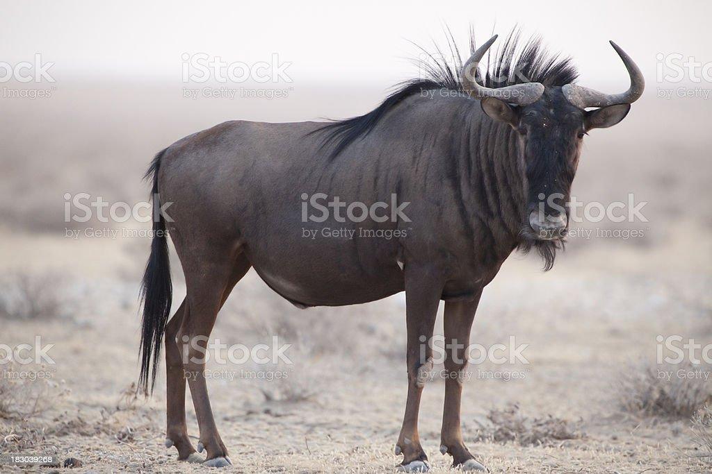 Blue wildebeest, Etosha National Park, Namibia stock photo