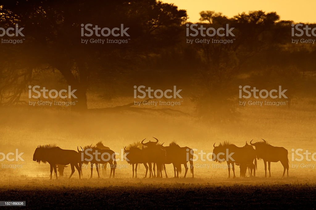 Blue wildebeest in dust royalty-free stock photo