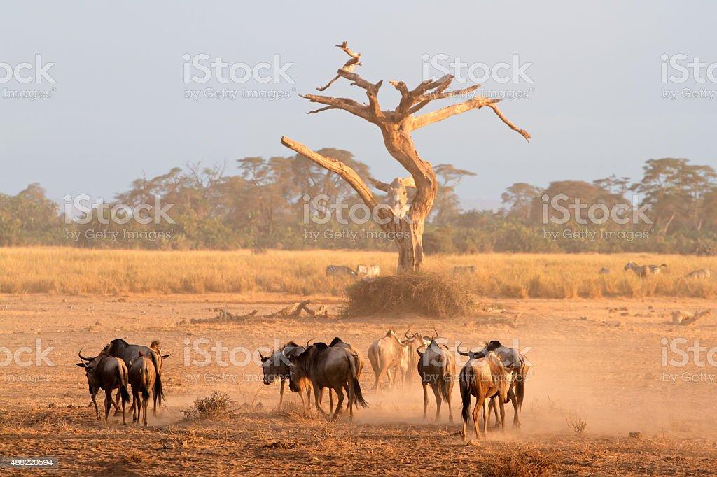 Blue wildebeest in dust stock photo