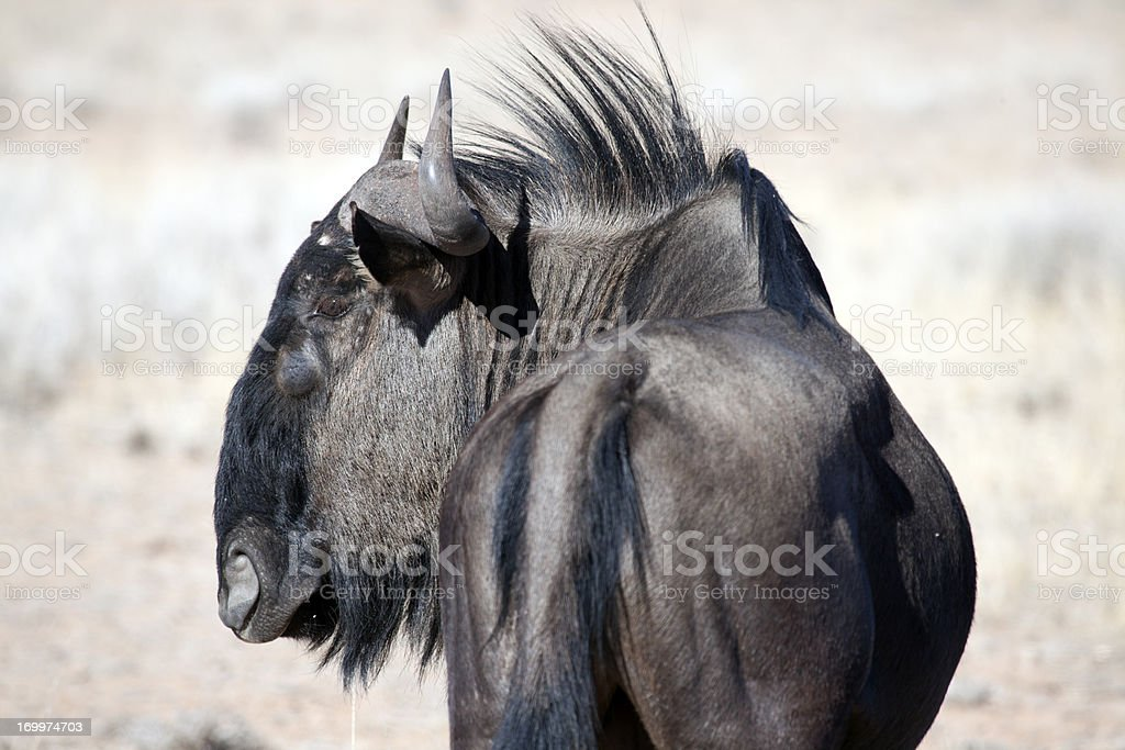 Blue wildebeest, Kgalagadi Transfrontier Park, South Africa royalty-free stock photo