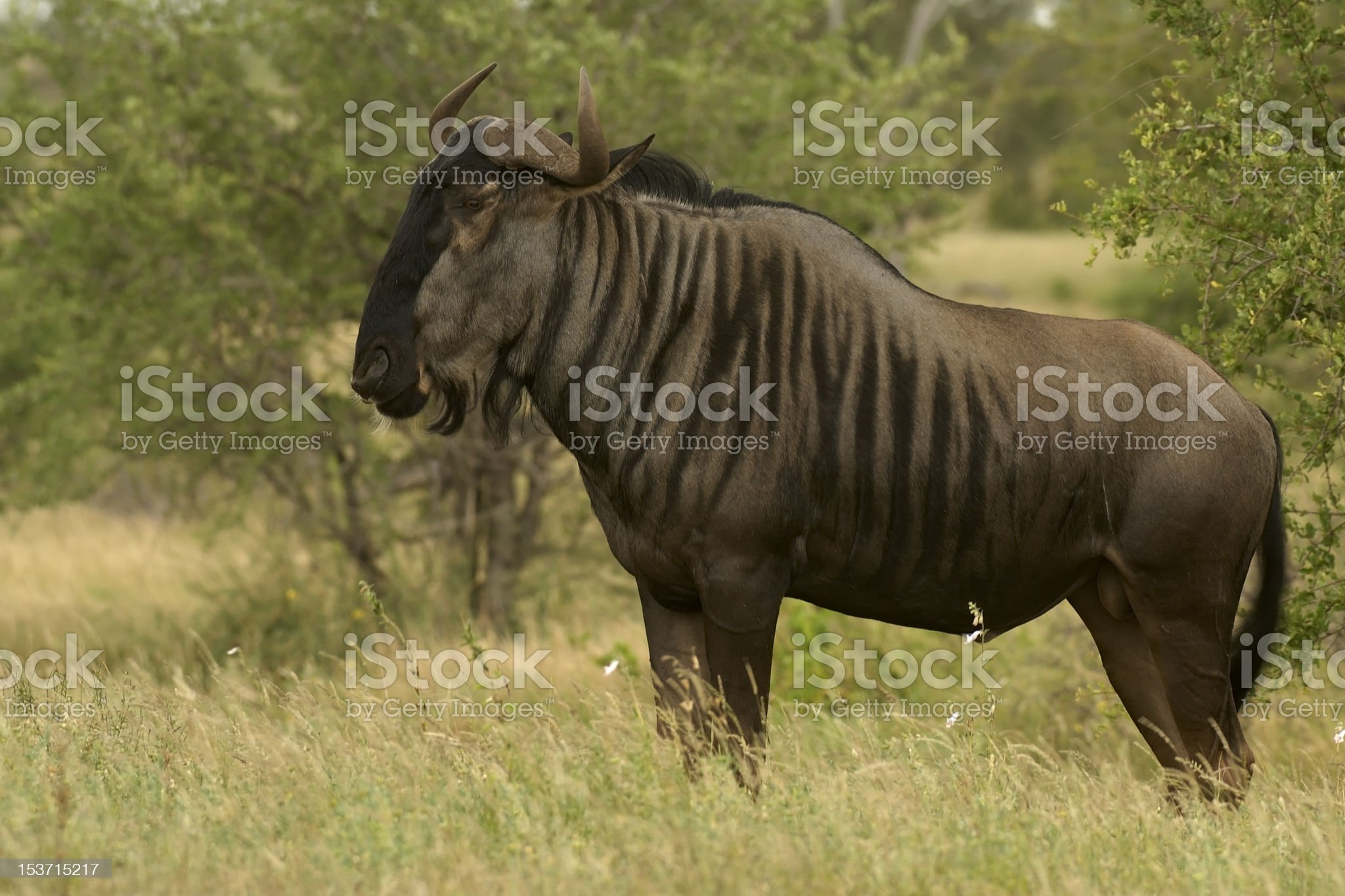 Blue Wildebeest royalty-free stock photo