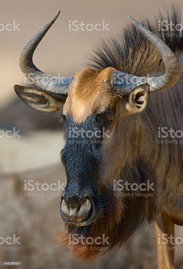 Blue wildebeest portrait stock photo