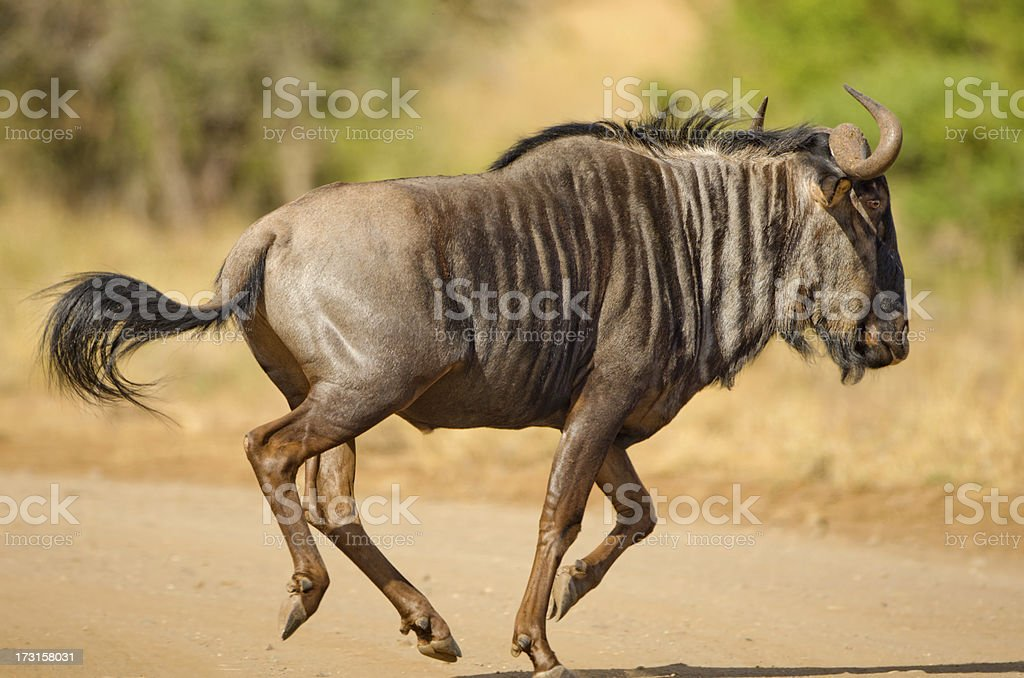 Blue Wildebeest Running - South Africa stock photo