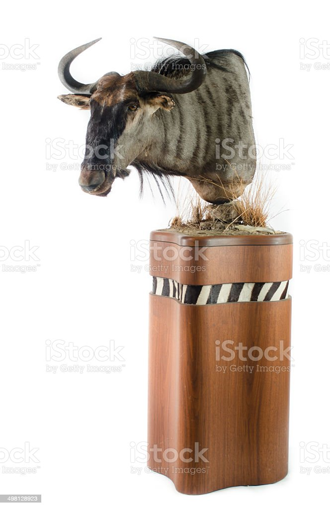 Blue Wildebeest Taxidermy Mount royalty-free stock photo