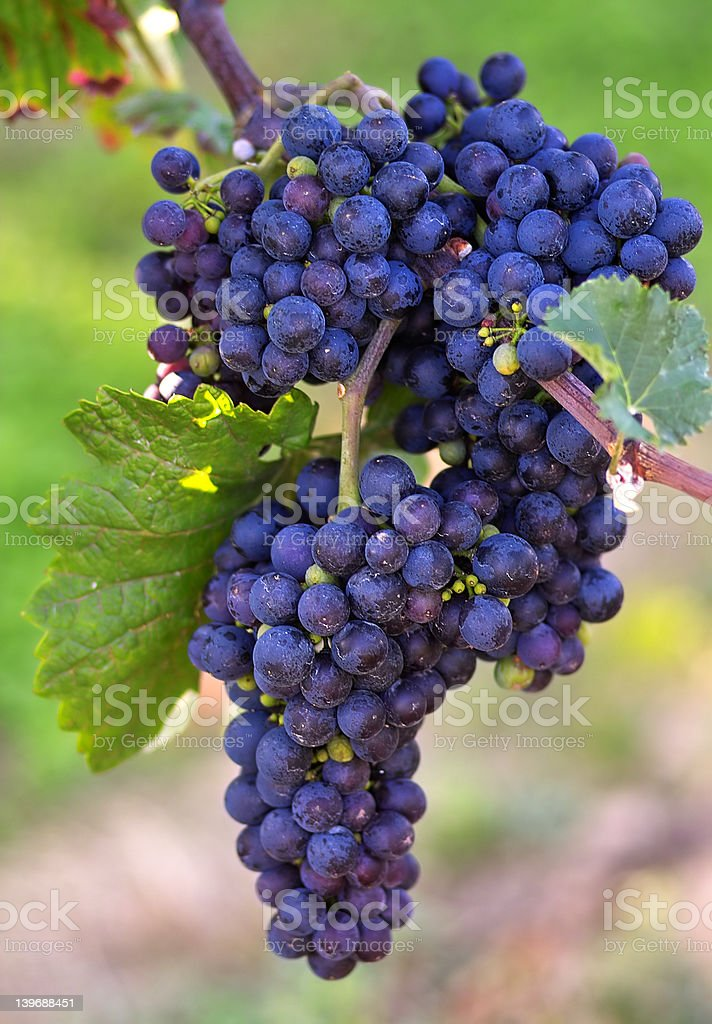 Blue wine grapes royalty-free stock photo